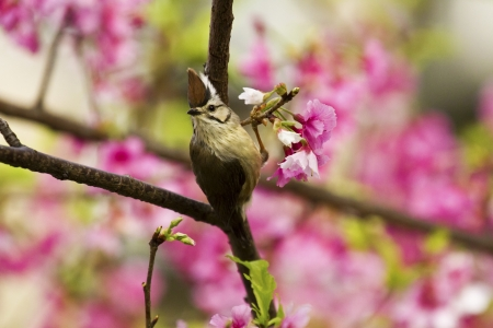 Taiwan Yuhina attract honey of pink cherry blossoms tree in forest ,Yuhina brunneiceps Stock Photo - 18044053