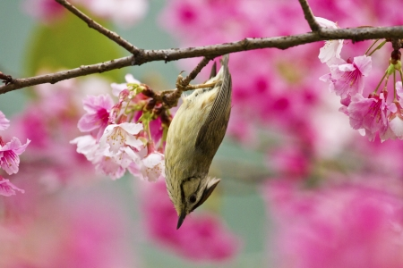 Taiwan Yuhina attract honey of pink cherry blossoms tree in forest ,Yuhina brunneiceps Stock Photo - 18044109