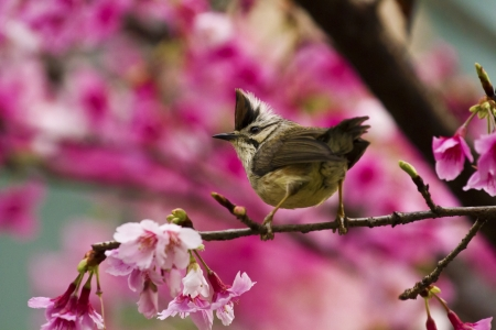 Taiwan Yuhina attract honey of pink cherry blossoms tree in forest ,Yuhina brunneiceps Stock Photo - 18044061