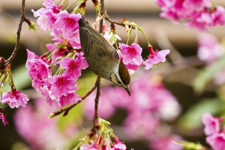 Taiwan Yuhina attract honey of pink cherry blossoms tree in forest ,Yuhina brunneiceps Stock Photo - 18044065