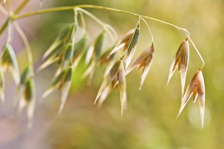 spikelets of oats , as agricultural background photo