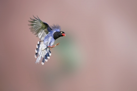 formosa blue magpie in flight against pure background photo