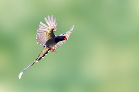 formosa blue magpie in flight against pure background