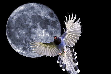 formosa blue magpie in flight against full moon background photo