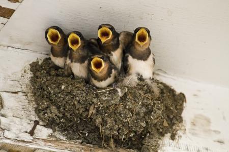 Veeleisende zwaluw kuikens bedelen voor voedsel Stockfoto