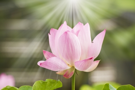 beautiful blooming lotus in summer morning Stock Photo