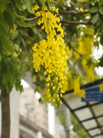 drumstick tree: beautiful blooming yellow Golden Shower Tree, (Cassia Fistula) Stock Photo