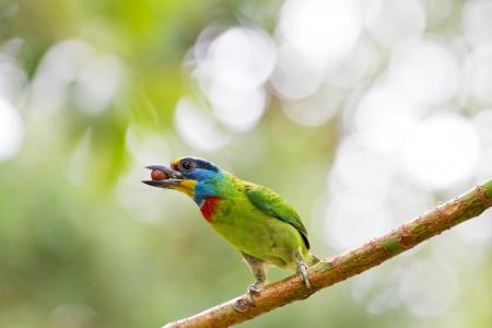 close view of bird Taiwan Barbet,Megalaima nuchalis Stock Photo