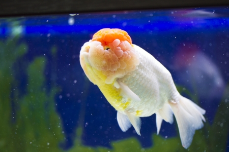 close view of Gold fish Stock Photo - 24365196