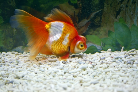 close view of Gold fish Stock Photo - 24365203