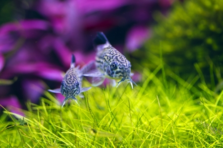 two Corydoras Trinilleatus Catfish swimming in a planted tropical aquarium Standard-Bild