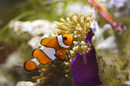 single clownfish in marine aquarium photo
