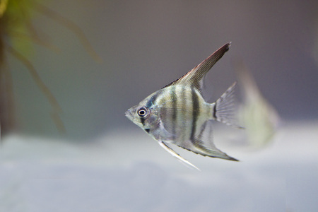 Angelfish swimming in aquarium tank photo