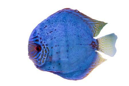 south american cichlid: Spotted blue discus, freshwater fish native to the Amazon River Stock Photo