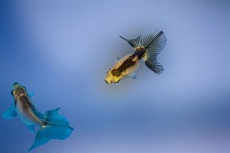 two Goldfish against a background Stock Photo - 24365217