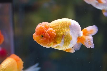 single goldfish swimming in tank