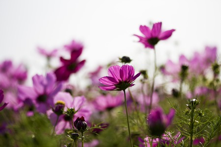 beautiful group field of bloom flowers Cosmos bipinnatus photo