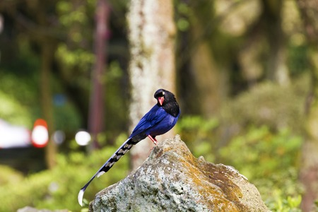 formosa blue magpie perch on stone,Urocissa caerulea photo