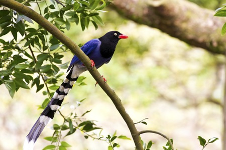 formosa blue magpie perch on tree,Urocissa caerulea