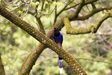 formosa blue magpie perch on tree,Urocissa caerulea photo