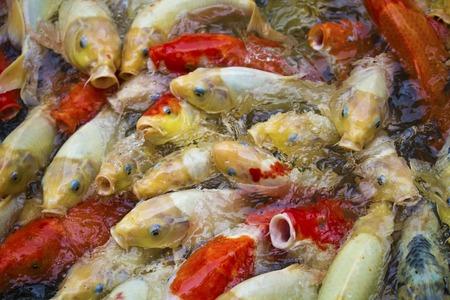 koi pond: multi-colored koi fish swim on the surface of a green koi pond.