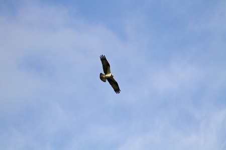 one eagle fly in the blue sky photo