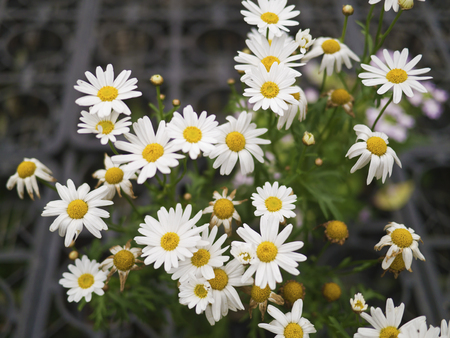beautiful floral pattern with lots of paris daisy,Leucanthemum paludosum photo