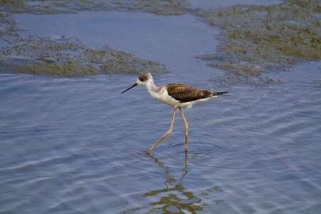 himantopus: blackwinged stilt wading in the swampHimantopus himantopus