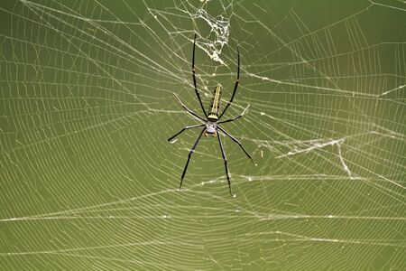 wood spider: Golden wood Spider Nephila pilipes waiting for prey on webs in the wild Taiwan Stock Photo
