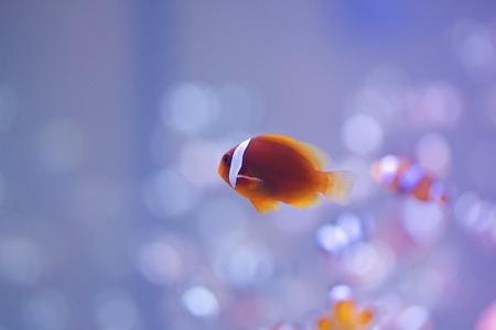 peces payaso: Pez payaso tomate en el tanque del acuario