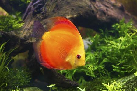 aequifasciatus: Discus fish swimming in aquarium tank,Symphysodon aequifasciatus
