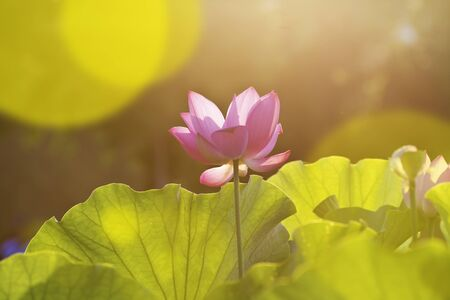 zen: Bloom Lotus flower in garden under sunlight