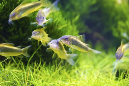 School of Bronze corydoras swimming in aquarium tank,Corydoras aeneus