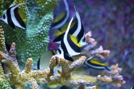 bannerfish: Tropical fish underwater: Schooling Bannerfish