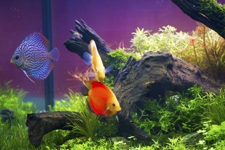 symphysodon discus: Discus fish swimming in aquarium tank,Symphysodon aequifasciatus