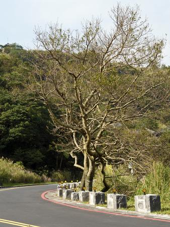 raod: bald tree on winter raod in Yangming mountain