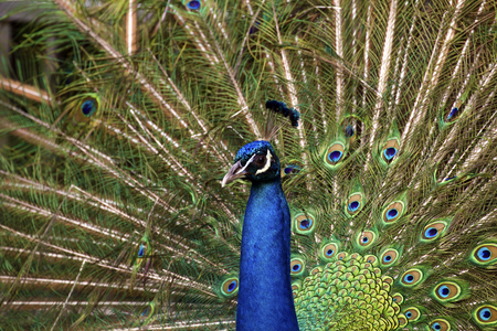 pavo: Blue peacock with a beautiful crown of brushes shows his tail. Indian peafowl (Pavo cristatus) shows his coloring