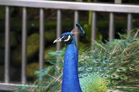 pavo: detail view of a male peafowl,Pavo