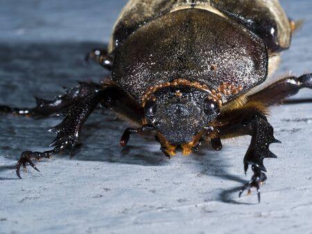 dichotoma: night shot of a female Japanese rhinoceros beetle,Allomyrina dichotoma tunobosonis
