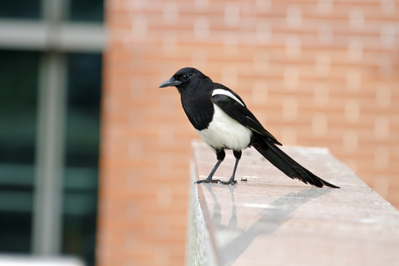 pica: Eurasian magpie in park,Pica pica