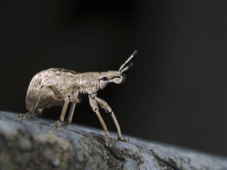 weevil: close shot of a weevil,Curculionidae