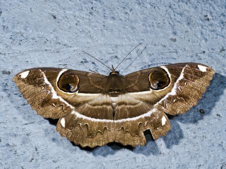 animal vein: Owl Moth perch on ground,Erebus ephesperis Stock Photo