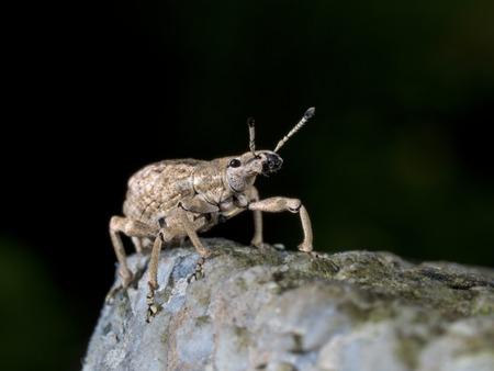 curculionidae: close shot of a weevil,Curculionidae