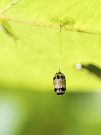 ichneumonidae: view of Ichneumonidae cocoon Parasitoid wasp in forest