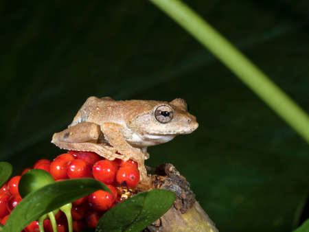 whipping: Hong Kong Whipping Frog or Spot-legged Tree Frog,Polypedates megacephalus Stock Photo
