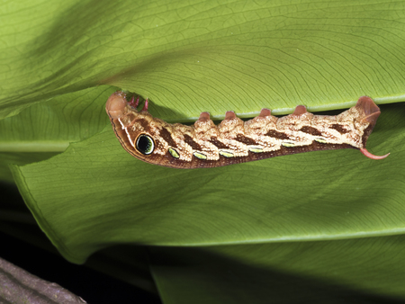 larva: moth larva on leaf,Pergesa actea  (Cramer,1779) Stock Photo