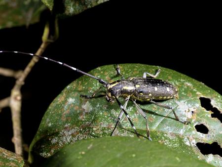long horn beetle: Longhorn beetle on leaf,Psacothea hilaris hilaris (Pascoe, 1857 )
