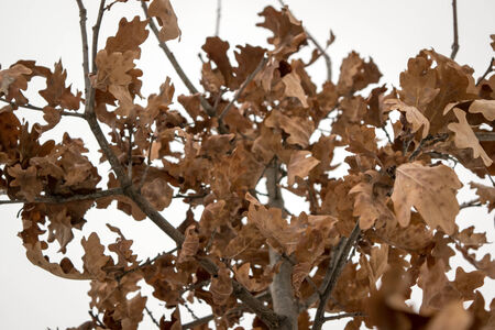 Yellow oak leaves on the background of snow in winter photo