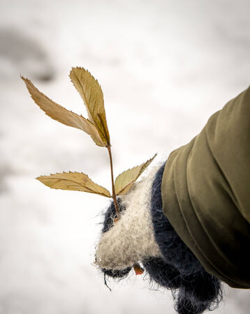 Child hand with rose leaves and a background of snow in winter photo