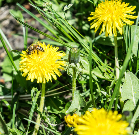 apis: Yellow dandelion and small bee honeybee apis on a grass background in spring Stock Photo